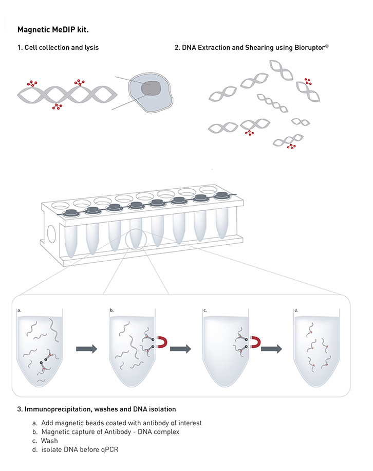 Methylated DNA immunoprecipitation(MeDIP) - Dna methylation