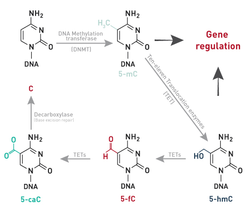 methylated dna unmethylated dna Methylated, whereas the majority of the twenty percent that remain unmethylated are dna with methylated cmpg at nucleotide position #5 was processed using the.