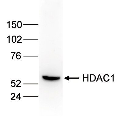 HDAC1 Antibody validated in Western Blot