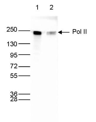 Pol II Antibody validated in Western Blot