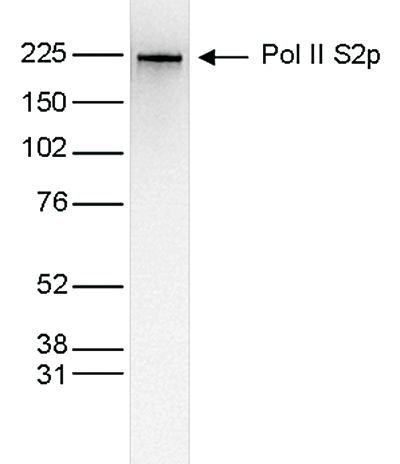 Pol II S2p Antibody validated in Western Blot