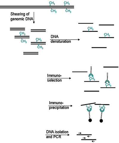 Methylated DNA immunoprecipitation (MeDIP) method