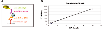 GR Antibody ELISA Validation