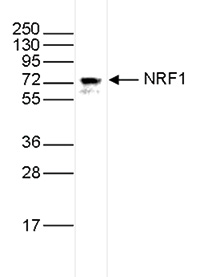 NRF1 Antibody validated in Western Blot