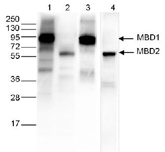 Ty1 Antibody validated in WB
