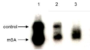 N6-methyladenosine (m6A) antibody for RNA immunoprecipitation