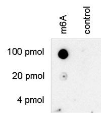 N6-methyladenosine (m6A) antibody validated in dot blot