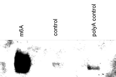 N6-methyladenosine (m6A) antibody for dot blot