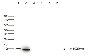 H4K20me1 Antibody validated in Western Blot