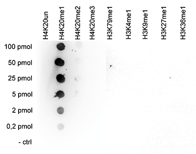 H4K20me1 Antibody Dot Blot validation