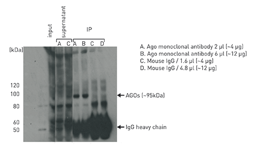 Ago (Argonautes) Antibody validated in IP