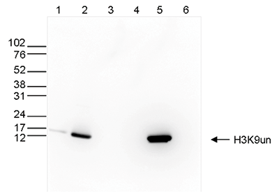 H3K9un Antibody validated in Western Blot