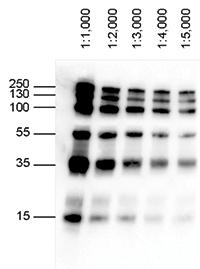 Blue Ladder Hrp Monoclonal Antibody