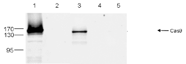 CRISPR/Cas9 Antibody validated in IP