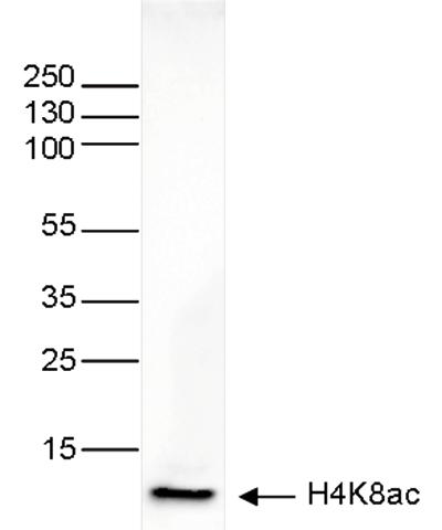 H4K8ac Antibody validated in Western Blot