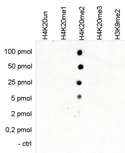 H4K20me2 Antibody validated in Dot Blot