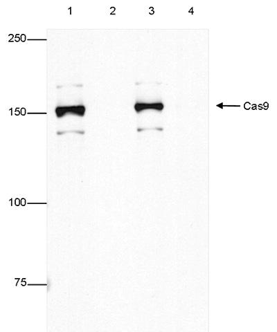 CRISPR/Cas9 Antibody for Immunoprecipitation