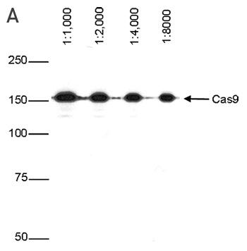 CRISPR/Cas9 Antibody for Western Blot
