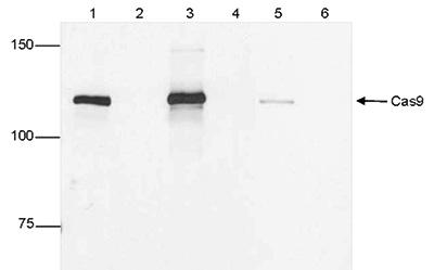 CRISPR/Cas9 Antibody validated in IP