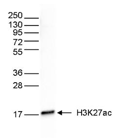 H3K27ac Antibody validated in Western blot