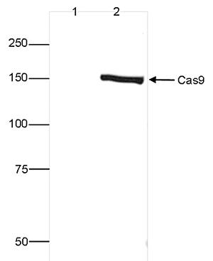 CRISPR/Cas9 C-terminal Antibody validated in Western Blot