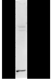 H4K20me1 Antibody validted in Western Blot