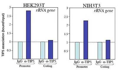 TIP5 Antibody ChIP Grade