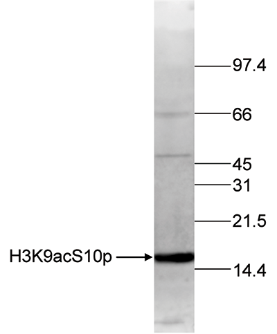H3K9acS10p Antibody validated in Western Blot