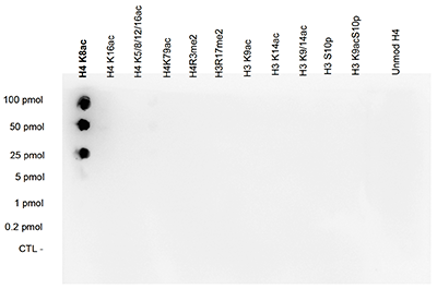 H4K8ac Antibody validated in Dot Blot