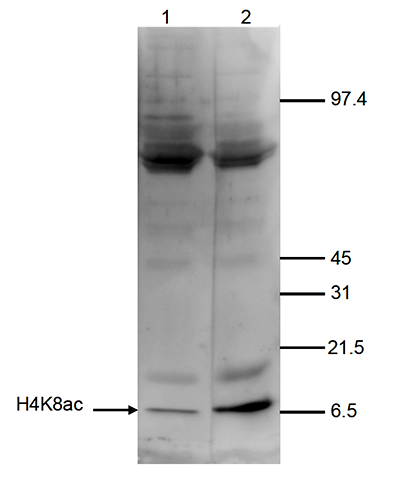 H4K8ac Antibody validated in Western Blot