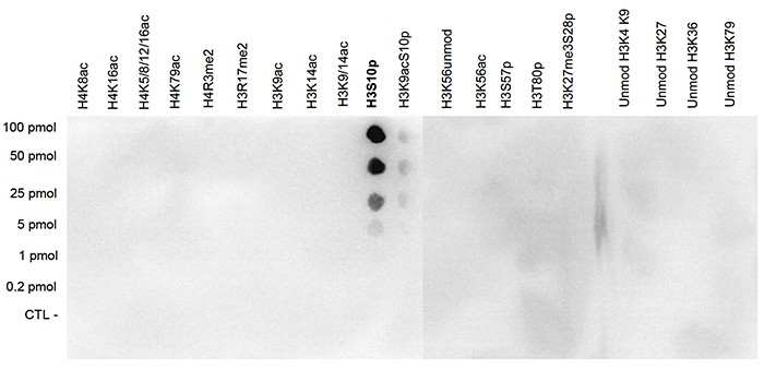 H3S10p Antibody validated in Dot Blot