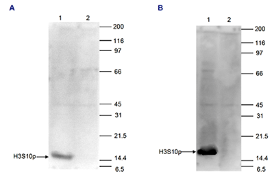 H3S10p Antibody validated in Western Blot