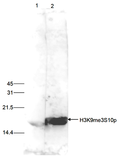 H3K9me3S10p Antibody validated in Western Blot