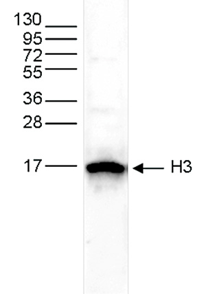 H3pan Antibody validated in Western Blot