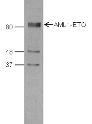 AML1-ETO Antibody validated in  Western Blot