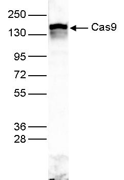 CRISPR/Cas9 Antibody Validation in WB