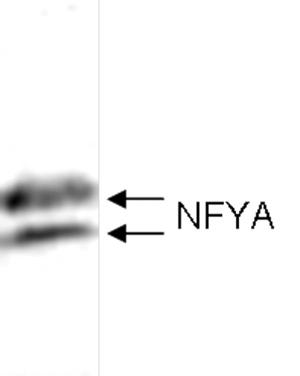 NFYA Antibody validated in western Blot