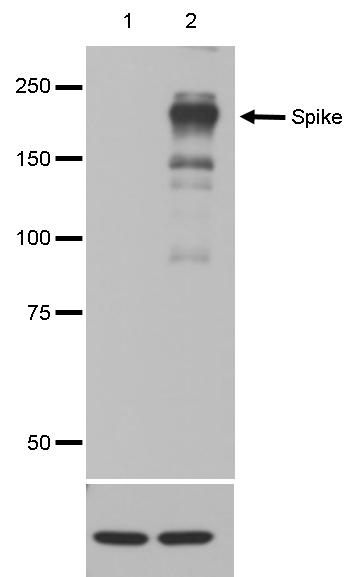 Covid-19 Spike Antibody validated in Western Blot
