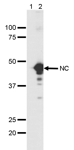 Covid-19 Nucleocapsid Antibody validated in Western Blot