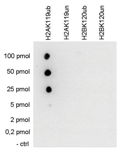 H2AK119ub Antibody validated in Dot Blot
