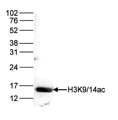 H3K9/14ac Antibody validated in Western Blot