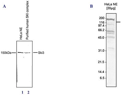 Ski3 Antibody validated in Western blot