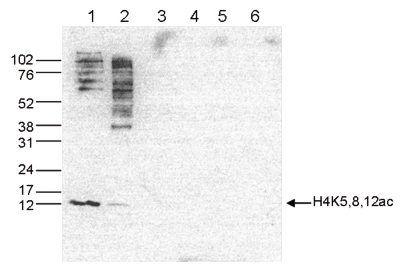 H4K5,8,12ac Antibody validated in Western Blot