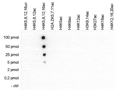 H4K5,8,12,16ac Antibody Dot Blot validation