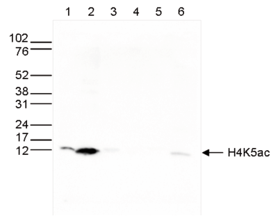 H4K5ac Antibody validated in Western Blot