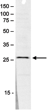 SAP30 Antibody validated in Western blot