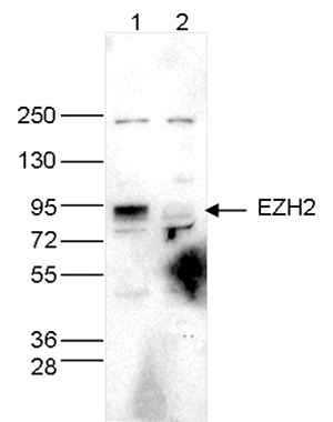 EZH2 Antibody validated for Western Blot