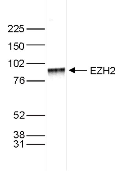 EZH2 Antibody validated in Western Blot