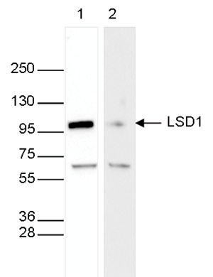LSD1 Antibody validated in Western Blot