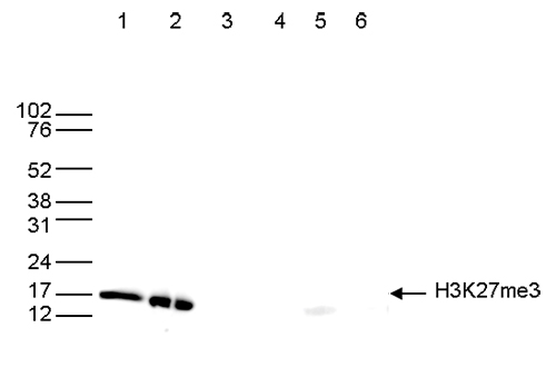 H3K27me3 Antibody Validation in Western Blot